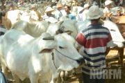 Jelang Idul Adha, Penjualan Sapi Tak Berpengaruh