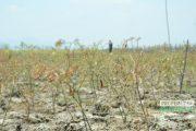 Puncak Kemarau, 11 Ribu Hektar Lahan Terbengkalai