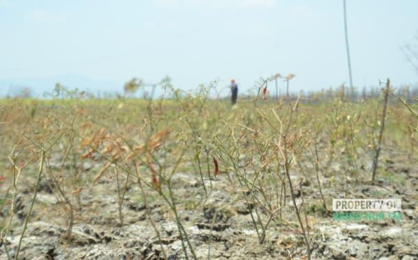 Resiko Gagal Panen Menghantui Petani Cabai Merah di Rembang