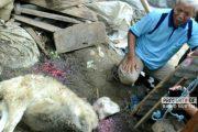 Kambing Ternak Milik Warga Diserang Kawanan Anjing Lapar