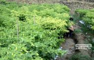 Terserang Penyakit Kuning, Produksi Cabai Menurun