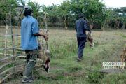 Ukuran Anjing Pemangsa Kambing Ternak di Rembang Terbilang Besar
