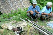 Warga Minta Ganti Rugi Kematian Kambing Ternak Akibat Anjing Lapar