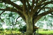 Di Rembang, Terdapat Pohon Jiwa Layaknya Dalam Film Avatar