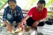 Menikmati Durian Criwik, Dipetik Langsung dari Pegunungan Argo