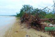 Terkena Abrasi, Ribuan Cemara Laut Jadi Korban