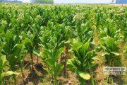 Dinilai Menguntungkan, Lahan Pertanian Tembakau di Rembang Ditambah Ratusan Hektare