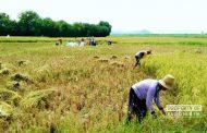 Gara-Gara Tugel Gulu, Panen Petani Tahun Ini Menurun