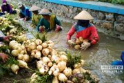 Petani Sempat Pesimis, Panen Bengkuang di Rembang Justru Memuaskan