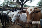 H-1 Idul Adha, Harga Sapi dan Kambing di Rembang Justru Merosot